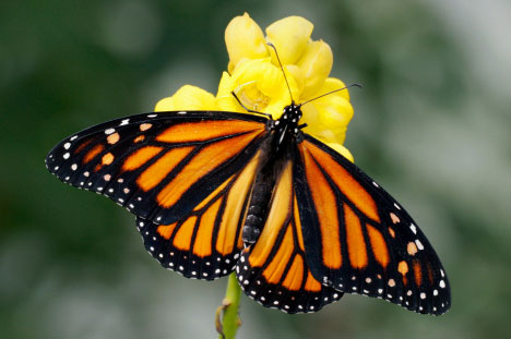monarch-butterfly2-2
